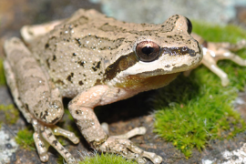 Pacific Tree Frog Photo