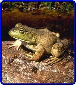 Bullfrog Photo
