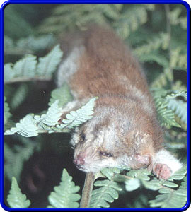 Central American Woolly Opossum Photo